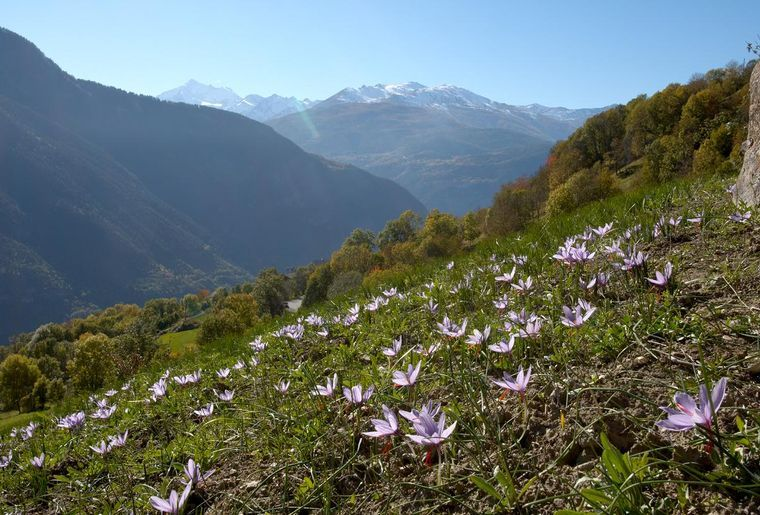Ausflug nach Mund - der einzige Schweizer Anbauort von Safran.jpg