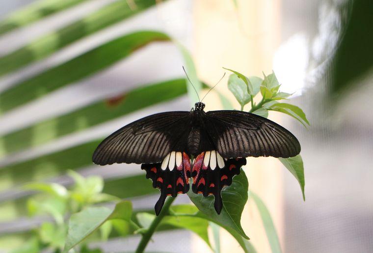 Schmetterlingshaus Raschle 2.jpg