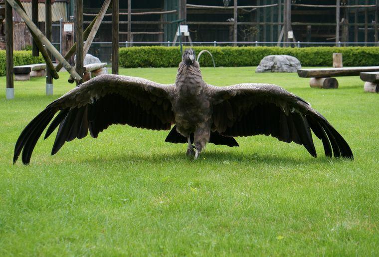 Greifvogelpark Buchs Kondor.jpg