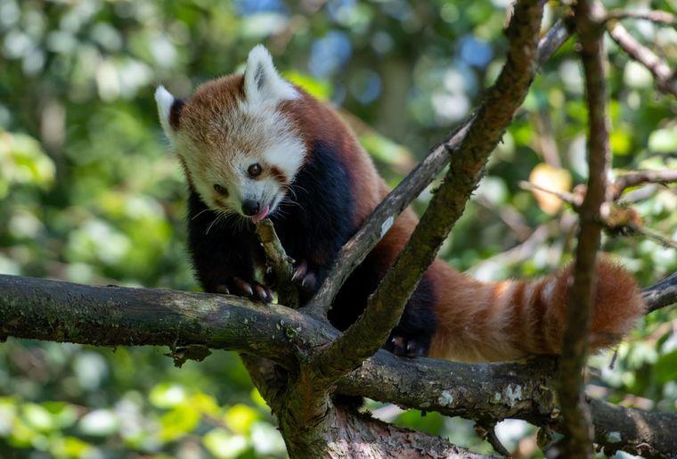 panda-roux-zoo-zurich-2