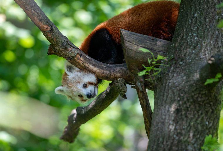 panda-roux-zoo-zurich-3