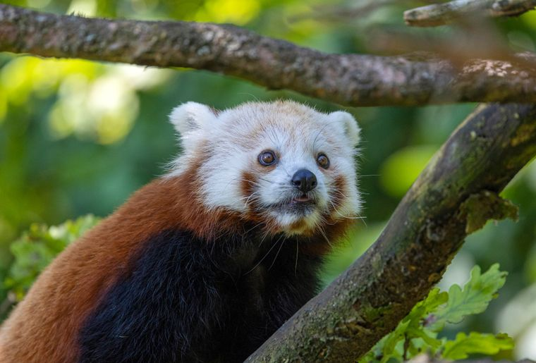 panda-roux-zoo-zurich-4
