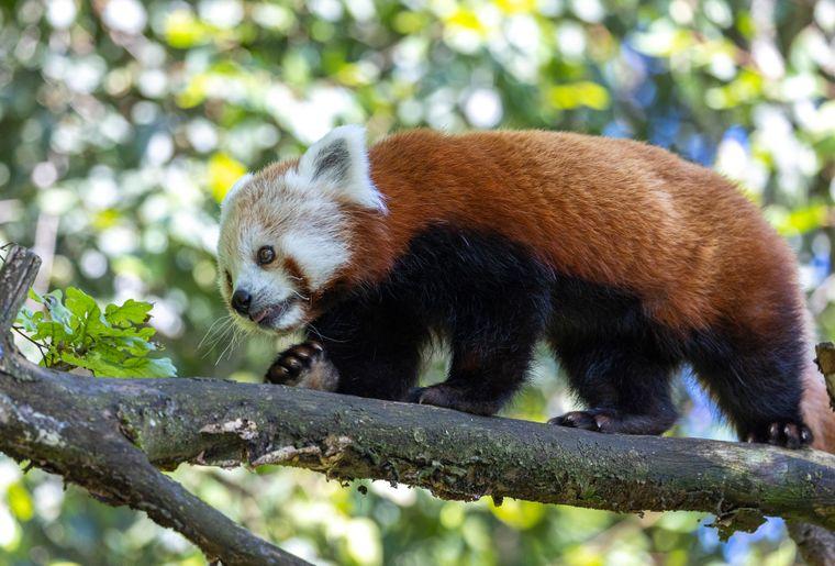 panda-roux-zoo-zurich-5