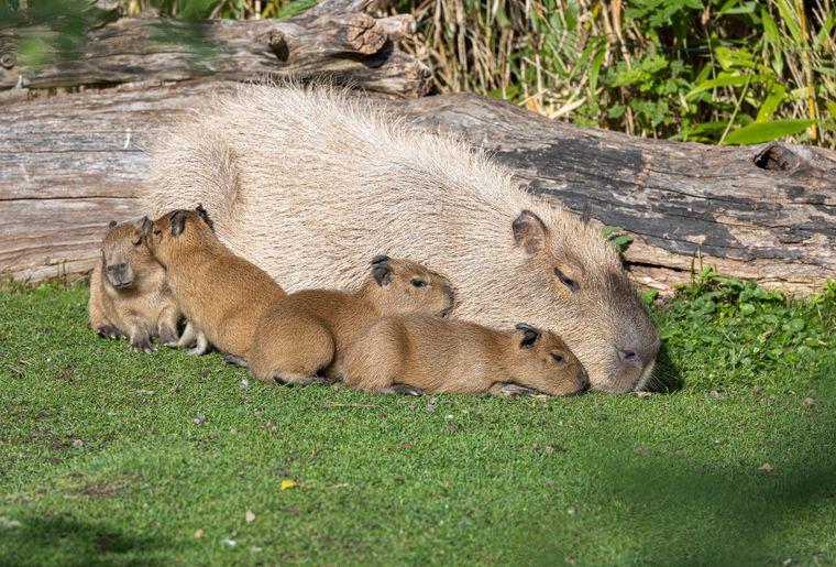 zoo-zurich-capybara-naissance
