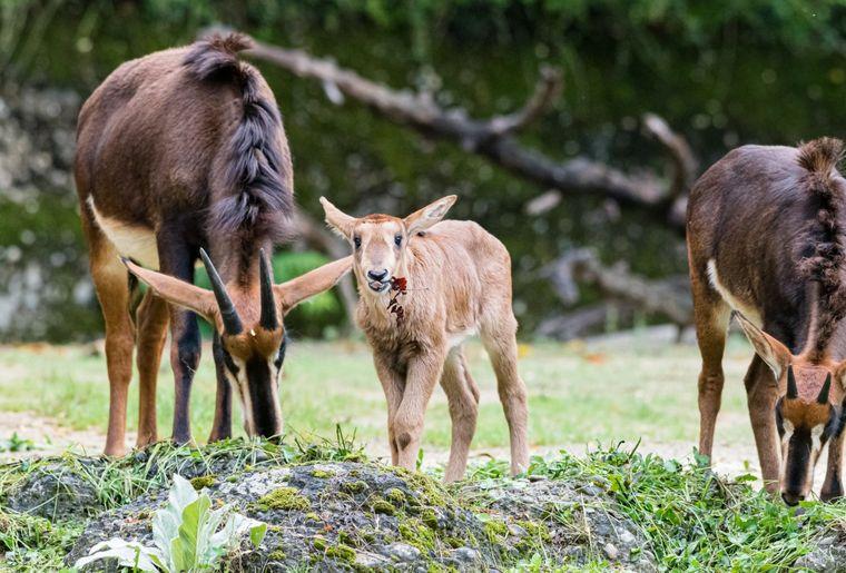 antilope-noire-zoo-bale