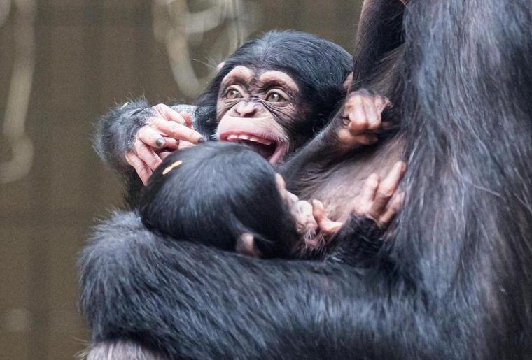 zoo-bale-chimpanzé