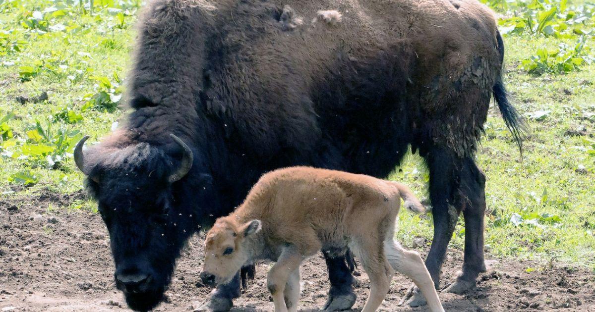 Bisonmutter mit ihrem Kind im Bisonpark