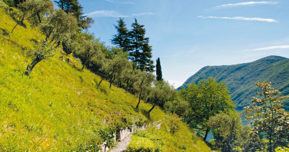 Olivenweg im Tessin