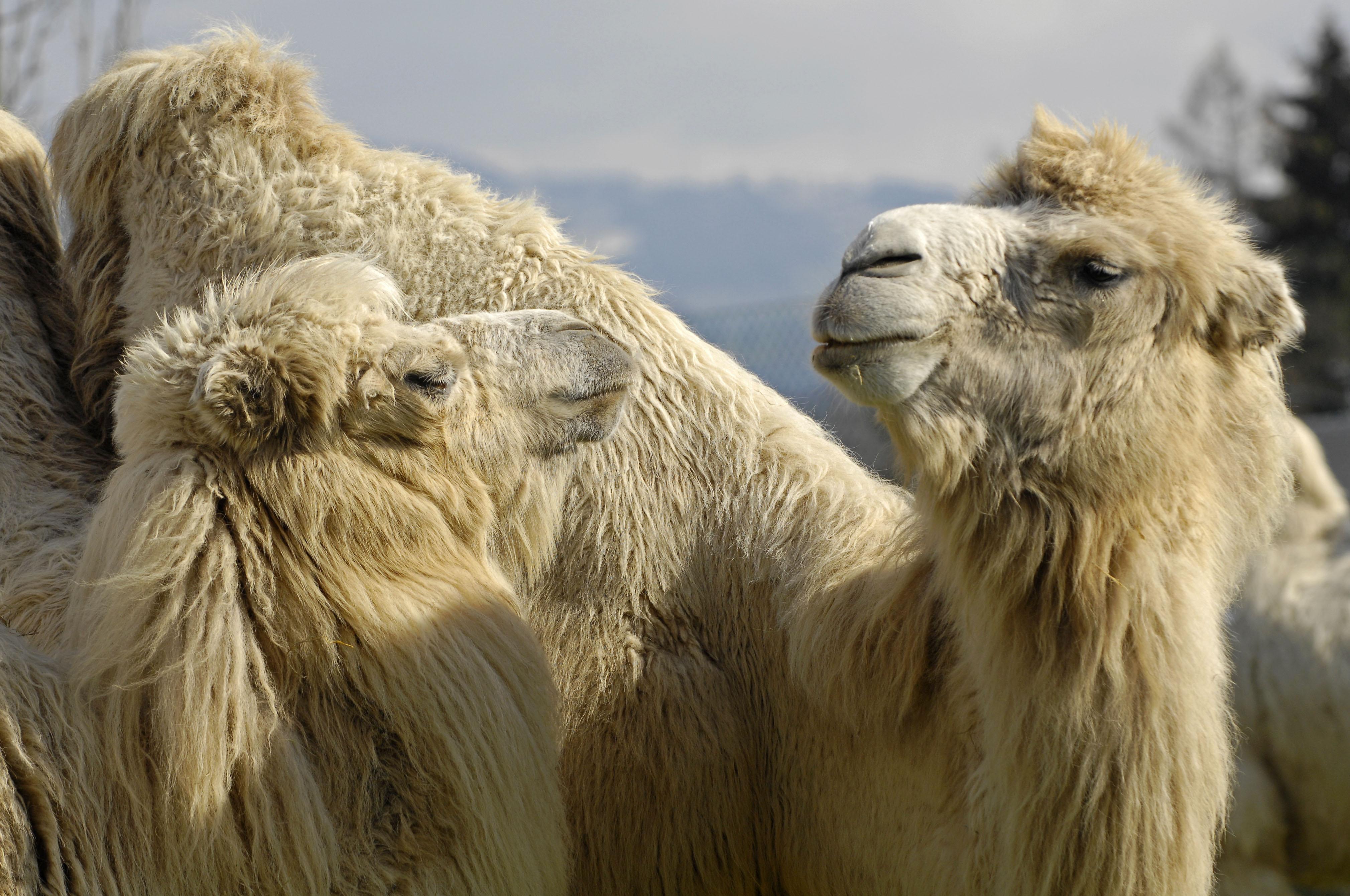 Kamele im Knie Kinderzoo in Rapperswil