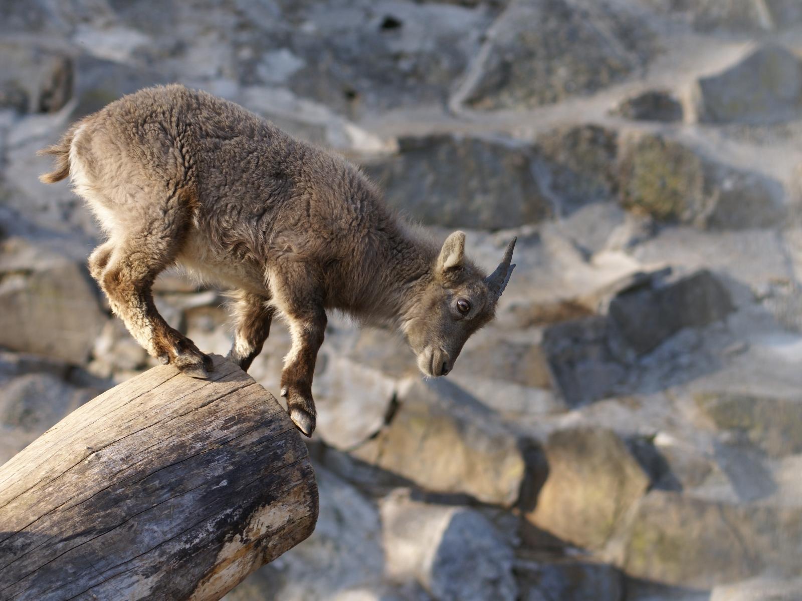 Kleine Ziege im Berner Dählihölzli
