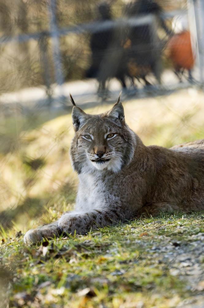 Eine Wildkatze im Wildpark Bruderhaus Winterthur