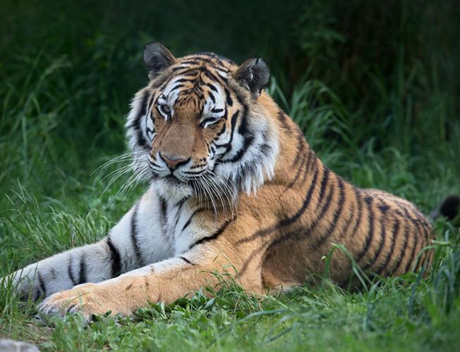 Ein majestätischer Tiger im Walter Zoo