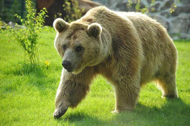 Braunbär im Zoo von Servion