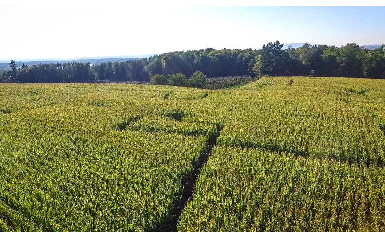 Das Maislabyrinth auf dem Hofgut Hügle