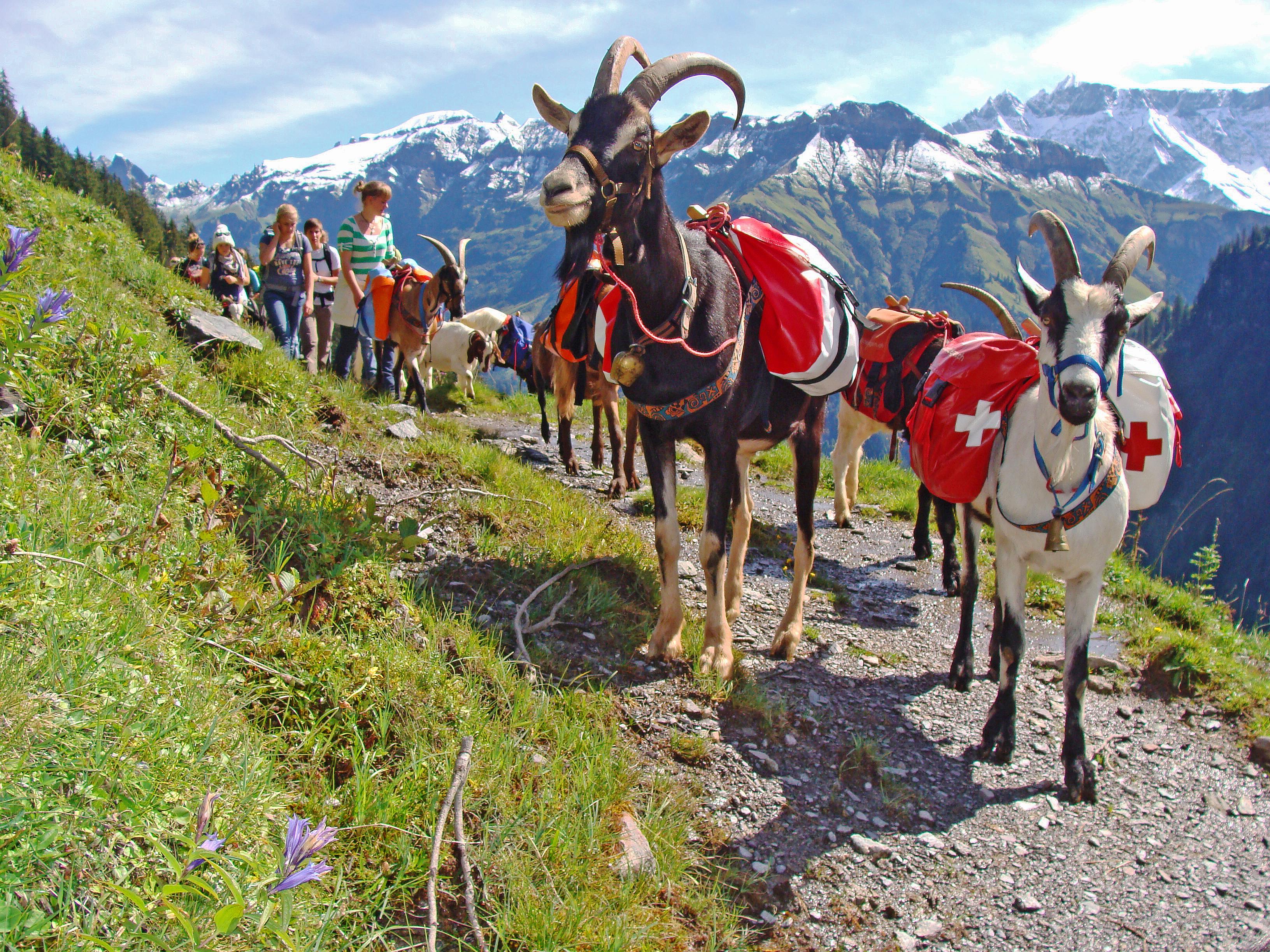 Packziegen-Trekking Elm Ferienregion